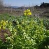 とう立ちした野菜たち~白菜とルッコラの花が咲きました。(^^♪