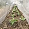 【家庭菜園】植え付け・種まき(たまねぎ、白菜、ガーデンレタス、ほうれん草)