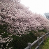 南足柄市 春めき桜が見頃です