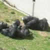 チンパンジーのベッド?!人類進化ベッドが欲しい!