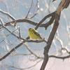 マヒワ・トラツグミ・アカハラ・ハイタカ・シメ(大阪城野鳥探鳥20210327 5:50-11:50)