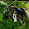 Inilah Ciri-Ciri Burung Kicau Bersuara Merdu