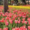 【横浜  横浜公園】春本番!満開のチューリップを見に行こう
