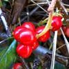 コトネアスターの赤い実