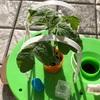 【続編②】トマトの家庭菜園を始めてみた