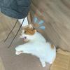 亀に竜宮城に誘われたらどうしよう?ジョギングウェアの紐で愛猫と遊びながら妄想する早朝。