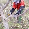 りんごの剪定作業が始まりました!②:ふじの若木(10年生)