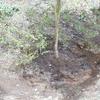 チャトランの木