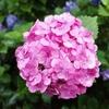梅雨の今が見ごろ 岩ケ池公園のアジサイロード(刈谷市)