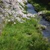 2020 一の坂周辺の桜 その弐(一の坂川)