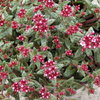 セダム クーペリーの花