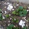 時は巡り、スミレのは~な~咲く頃~♪