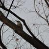早朝探鳥・善福寺公園の野鳥/2019-1-29
