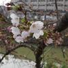 今年は桜が咲くのが遅い
