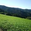 濃い緑色の茶畑が増加中