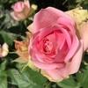 藤の花の香り成分