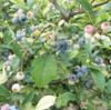 世界一コスパの良いブルーベリー園『鈴木ブルーベリー園(栃木県)』
