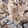 桜満開@Tidal Basin