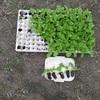 白菜苗を植えました。