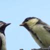 色んな野鳥の雛鳥たち【シジュウカラ雛・カルガモ雛・ツバメ雛・セグロセキレイ雛・モズ雛】