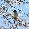 懐かしい手賀沼遊歩道の桜とコイカル