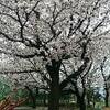 自分短歌 雨桜