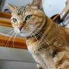 10月前半の #ねこ #cat #猫 どらやきちゃんA