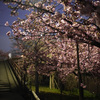 夜の淀の水路沿いの河津桜@2020