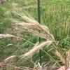 ラボ2畑のライ麦 ~熟して倒れる