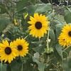 彼岸に咲いた夏の花