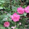 小さな庭のバラ 2018 Ⅳ