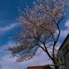 亀高神社の一本桜