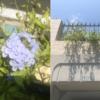 【真夏に涼しげな青花】『ルリマツリ(プルンバーゴ)』の成長と開花~フェンス沿いに地植えして育成!