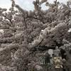 非常事態宣言中でも 札幌の桜咲く