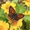 オオマツヨイグサの朝&金色のボタンの蛹&ブッドレアに集う蝶達&私の大好きドラマランキング♪