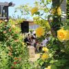 咲き誇るバラ 雄勝バラ祭り6月15日まで
