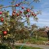 松川町のりんご