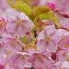 河津桜が見頃です♪