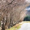 🐦野鳥の回【37】🆕 キンクロハジロ(金黒羽白)♀桜のロケハンがいつのまにやら野鳥撮影