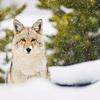 「有害動物の生息数を抑える」という建前でコヨーテの殺害コンテストがアメリカで開催される