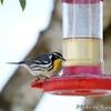 餌台の Yellow-Throated Warbler (イエロースローテッド ワーブラー)