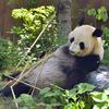 【エムPの昨日夢叶(ゆめかな)】第1941回『上野動物園のジャイアントパンダ・シンシンが双子を出産した夢叶なのだ!?』[6月23日]