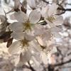 隅田川テラスでお花見!桜が咲いていました