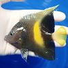 【現物4】wildマクロスス 11cm!海水魚 ヤッコ 餌付け!15時までのご注文で当日発送【ヤッコ】