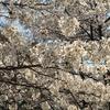 ゴッホ① 桜とアーモンド