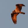 SONY α7R4+SEL600f40gmで猛禽類を撮る