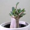 アデニウム の葉が枯れる問題!原因追求中!