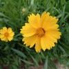 オオキンケイギクは春菊そのもの