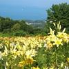 空と海と一面のゆり。今年もオーンズ春香山ゆり園に行ってきた