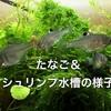 タナゴとエビの混泳は可能!混泳でアクアリウムをより楽しもう!